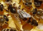 Пчеломатки и пчелопакеты Карника